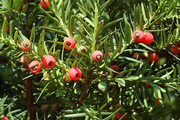 Taxus Bacata